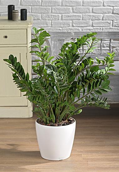 Zamia o pianta verde equivalente con vaso
